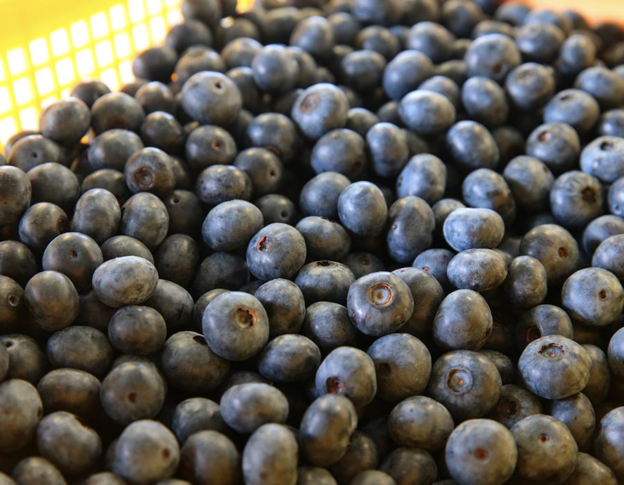 大粒の農薬を使わず栽培したブルーベリー